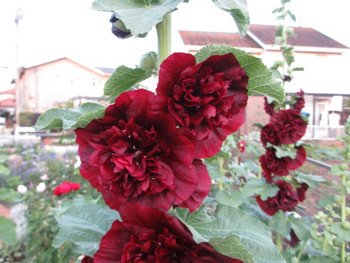八重咲きのタチアオイが綺麗に咲いています_a0243064_9312359.jpg