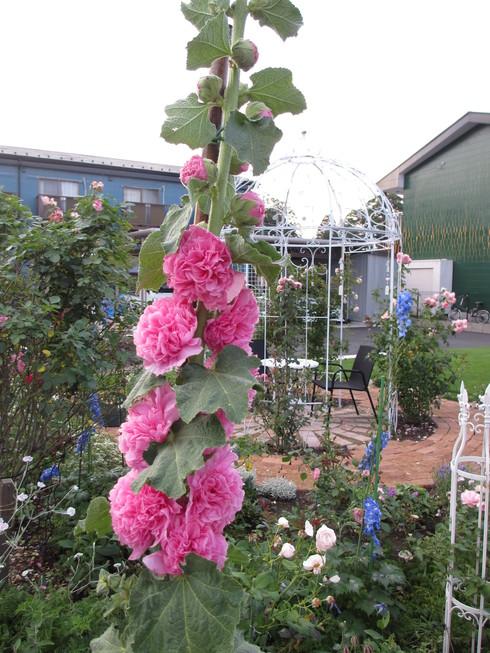 八重咲きのタチアオイが綺麗に咲いています_a0243064_9333969.jpg