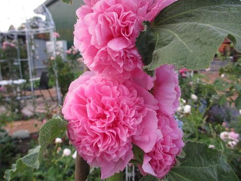 八重咲きのタチアオイが綺麗に咲いています_a0243064_9335578.jpg