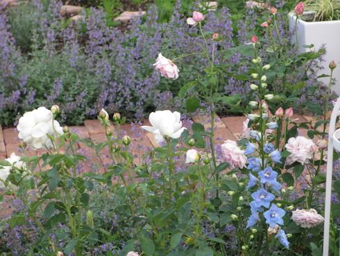 八重咲きのタチアオイが綺麗に咲いています_a0243064_9405712.jpg