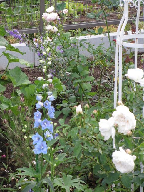 八重咲きのタチアオイが綺麗に咲いています_a0243064_941303.jpg