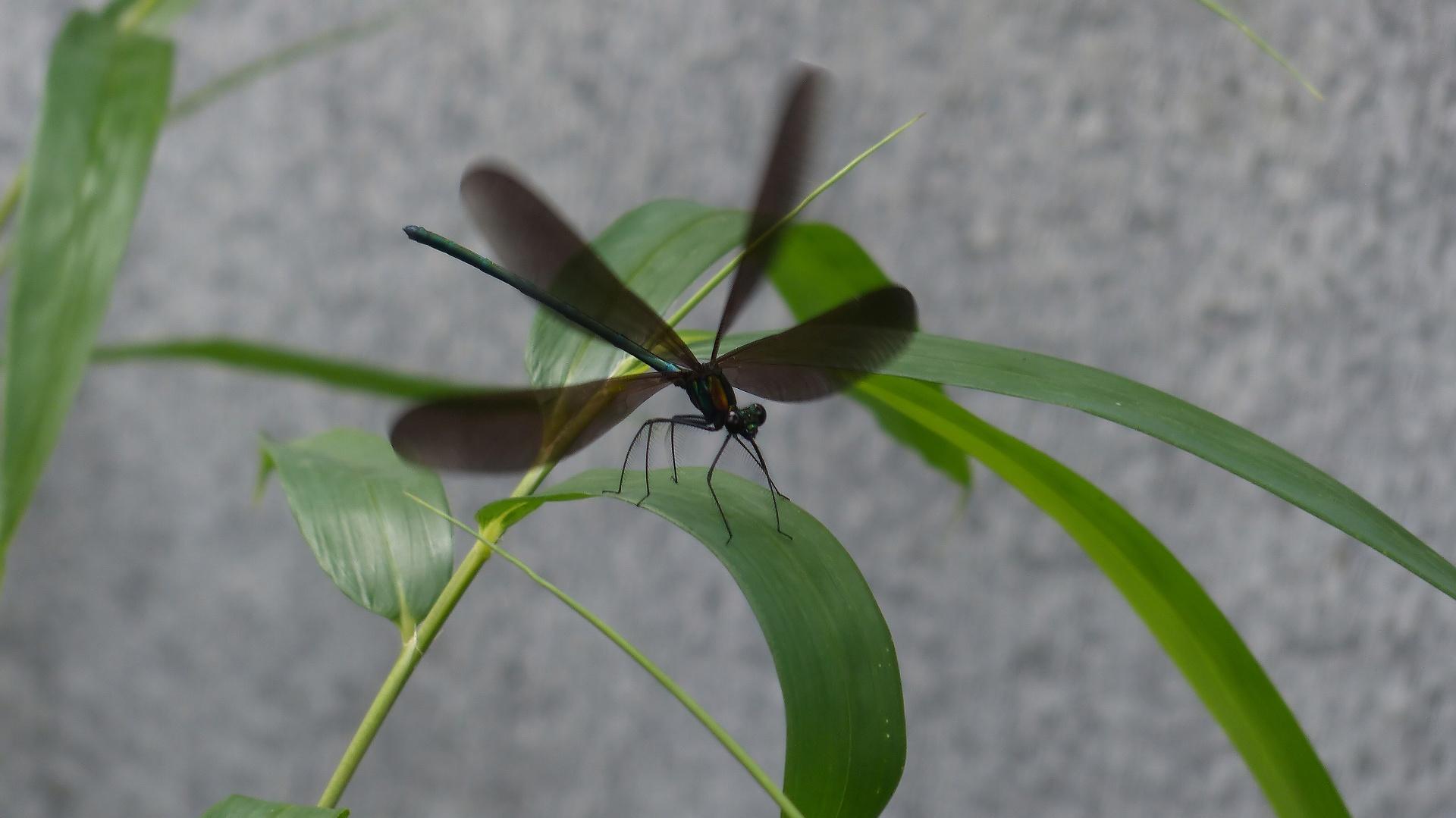 初夏の昆虫シリーズ 水辺の宝石 お羽黒さま_a0185081_10572959.jpg