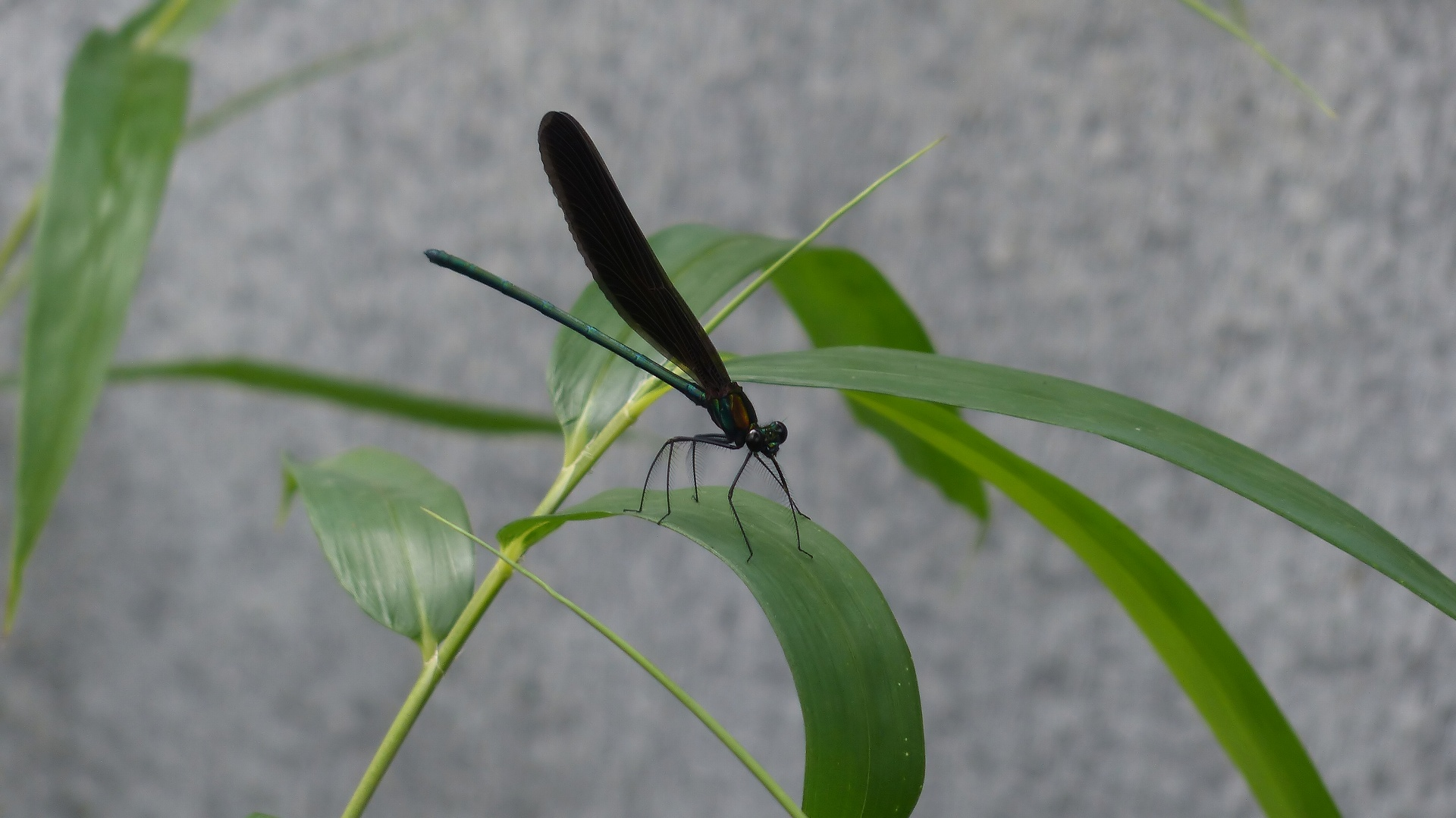 初夏の昆虫シリーズ 水辺の宝石 お羽黒さま_a0185081_1057563.jpg