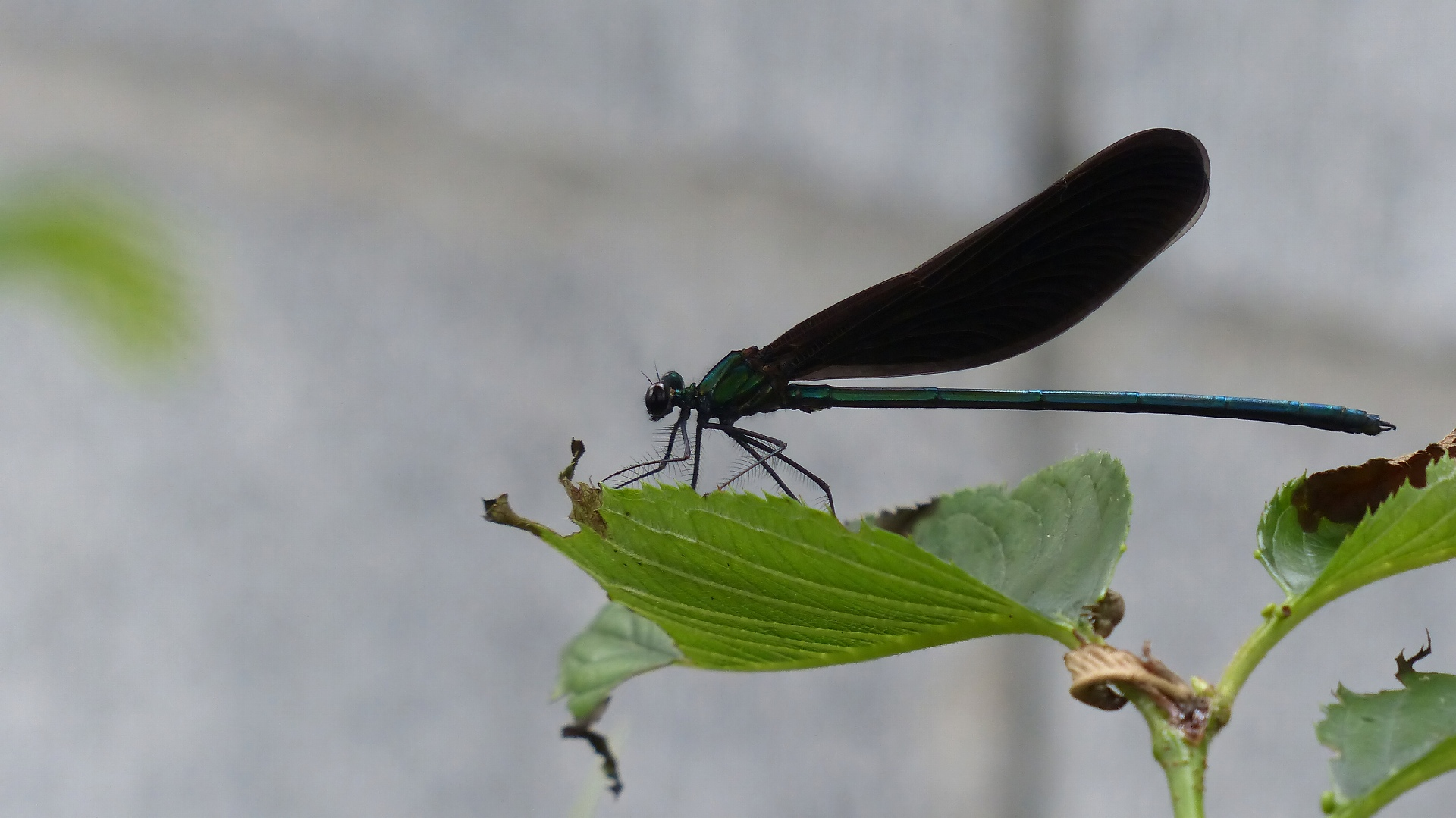 初夏の昆虫シリーズ 水辺の宝石 お羽黒さま_a0185081_10582468.jpg