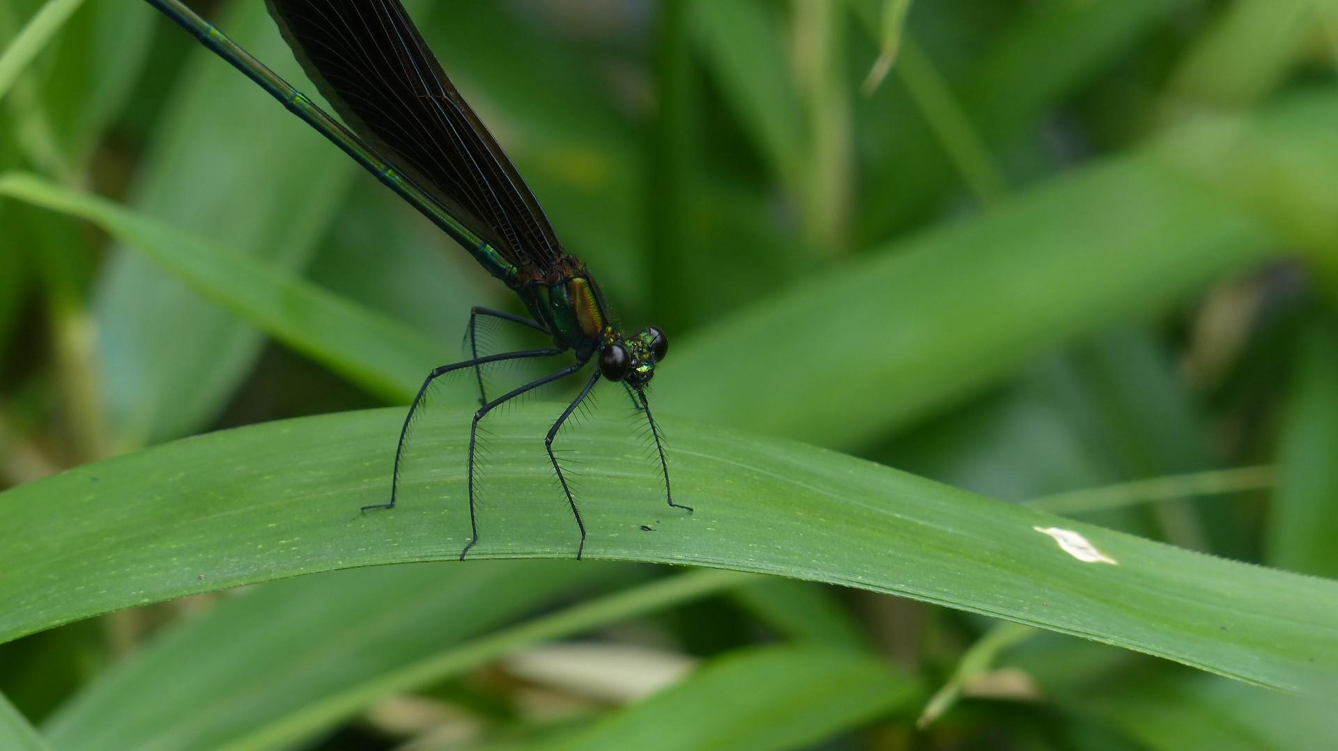 初夏の昆虫シリーズ 水辺の宝石 お羽黒さま_a0185081_1058534.jpg
