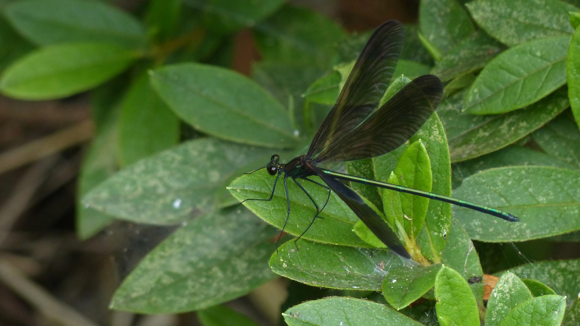 初夏の昆虫シリーズ 水辺の宝石 お羽黒さま_a0185081_10591327.jpg