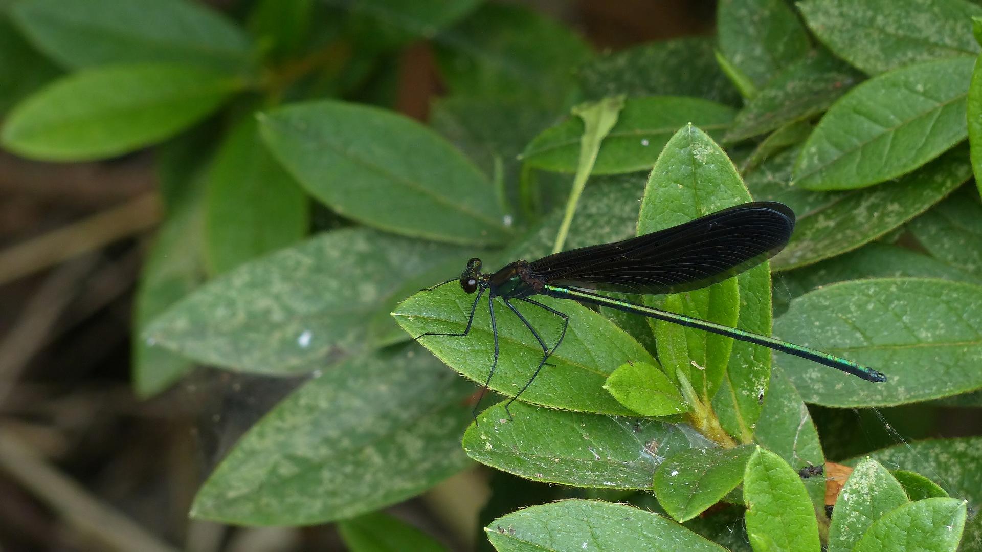 初夏の昆虫シリーズ 水辺の宝石 お羽黒さま_a0185081_1059283.jpg