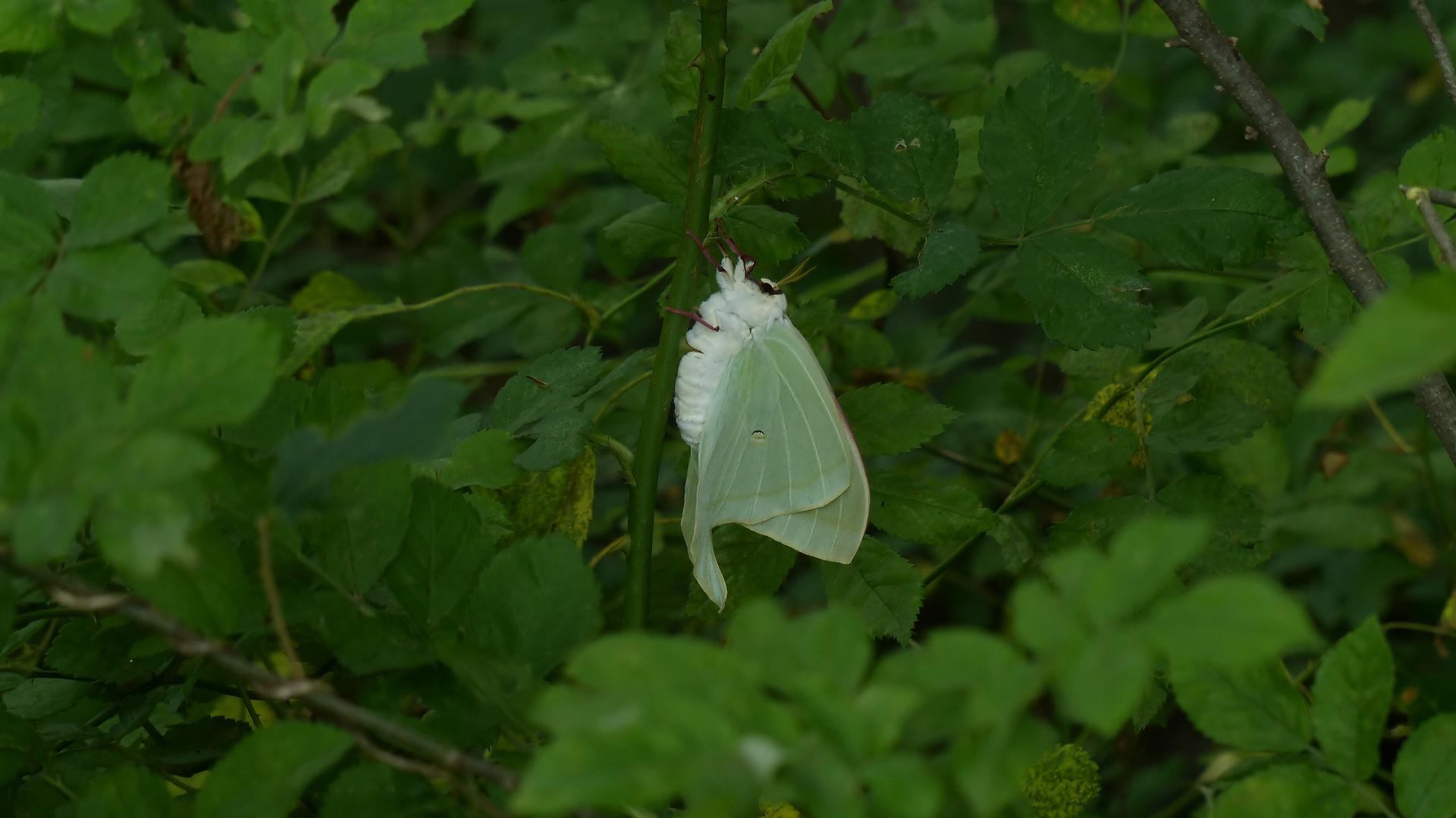 昆虫の森シリーズ 夕顔瓢箪とも呼ばれます_a0185081_11392982.jpg