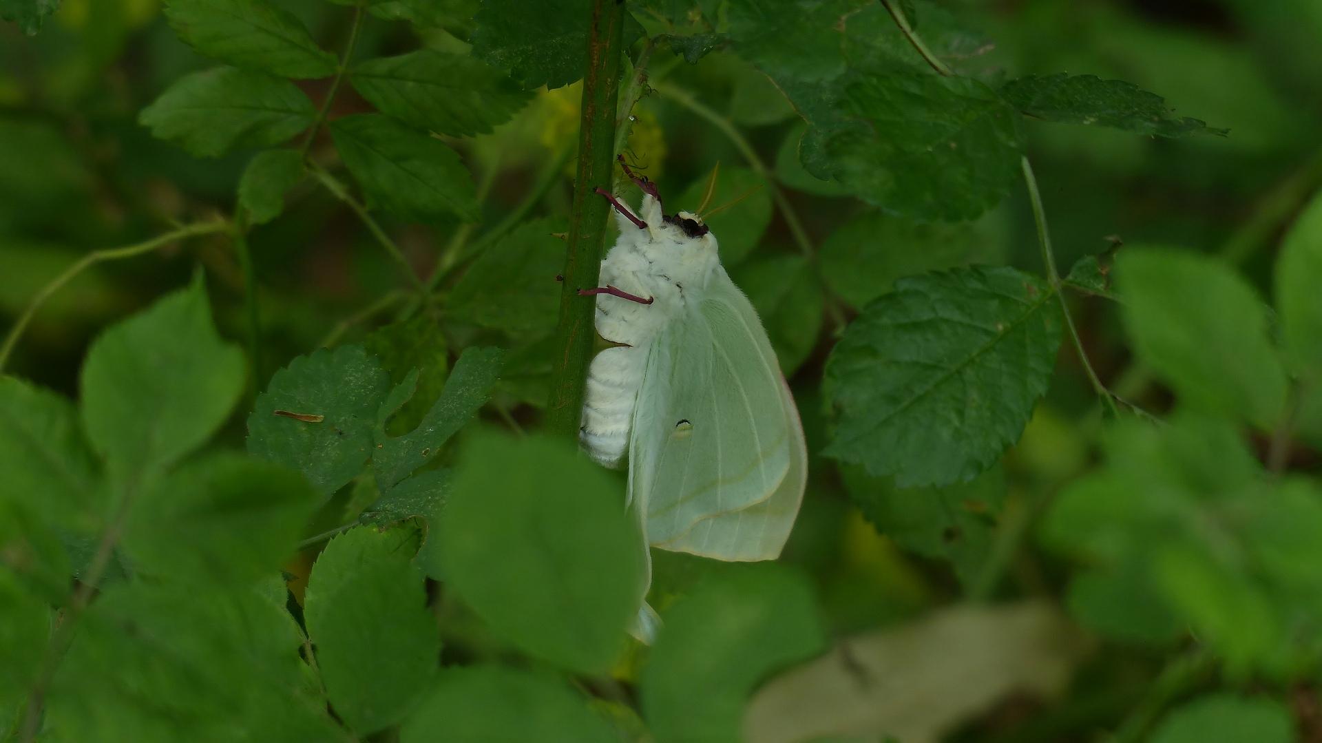 昆虫の森シリーズ 夕顔瓢箪とも呼ばれます_a0185081_11394877.jpg