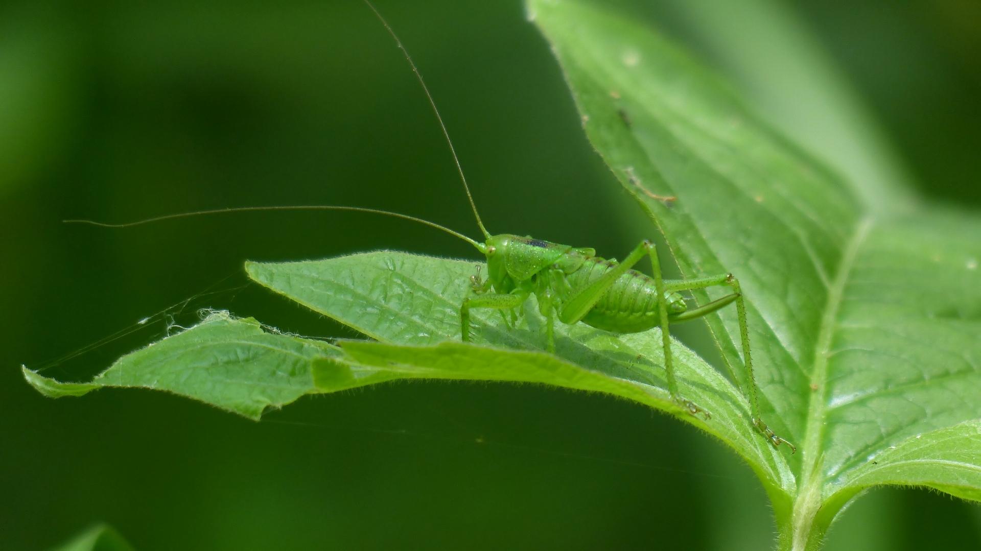昆虫の森シリーズ 最強のバッタ_a0185081_145025.jpg