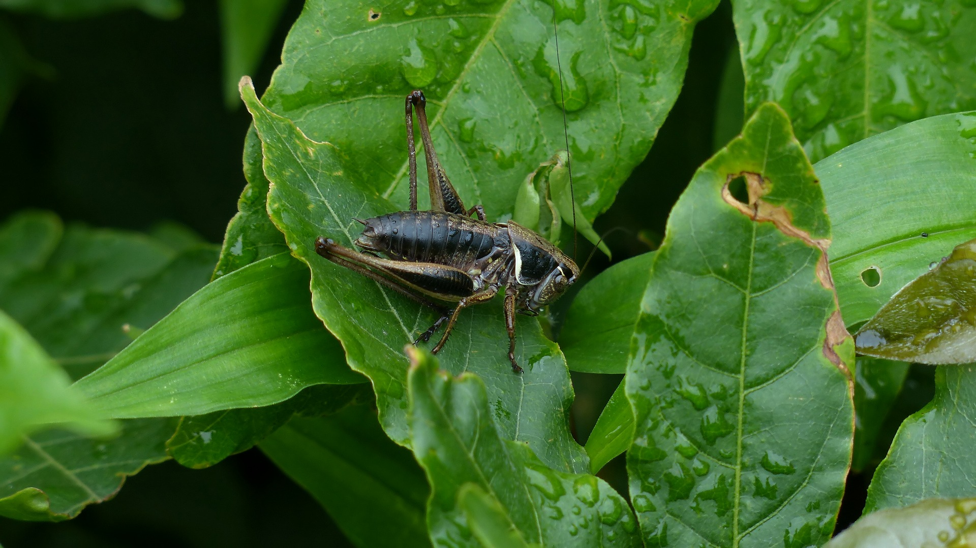 昆虫の森シリーズ 最強のバッタ_a0185081_146984.jpg
