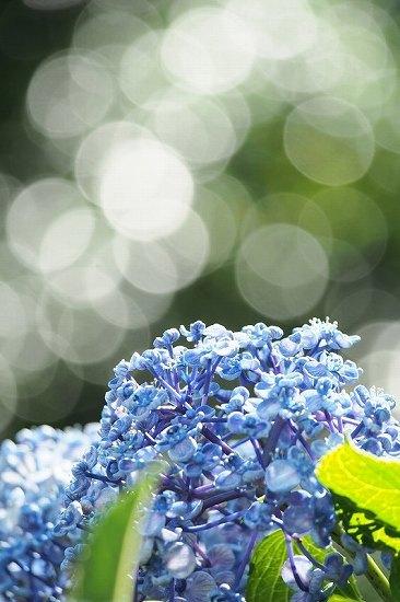 飛鳥山の紫陽花_e0348392_23403642.jpg