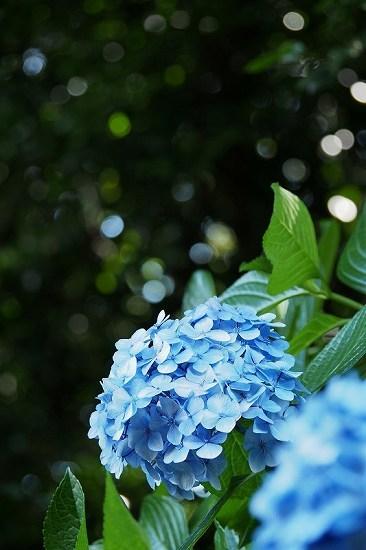 飛鳥山の紫陽花_e0348392_23410663.jpg