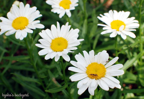 花壇の様子(6月中旬)_b0253205_03381551.jpg