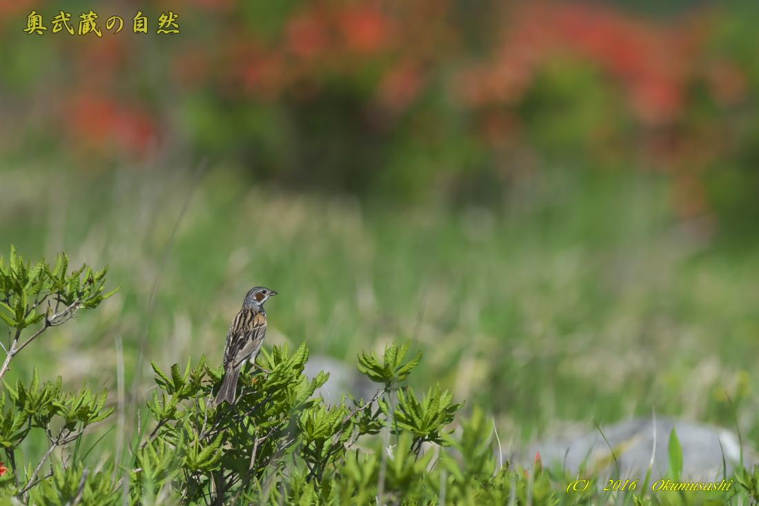 高原の鳥_e0268015_12325598.jpg