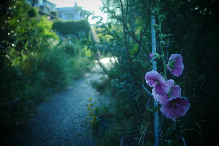紫陽花 2016 伏見 中書島 _f0021869_22451973.jpg