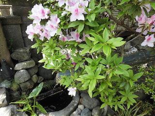 春のピンク色の花と竹筒の鹿威し(ししおどし)_e0310216_20123087.jpg