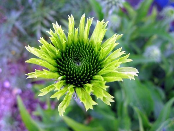 緑のエキナセア_f0129726_22041839.jpg