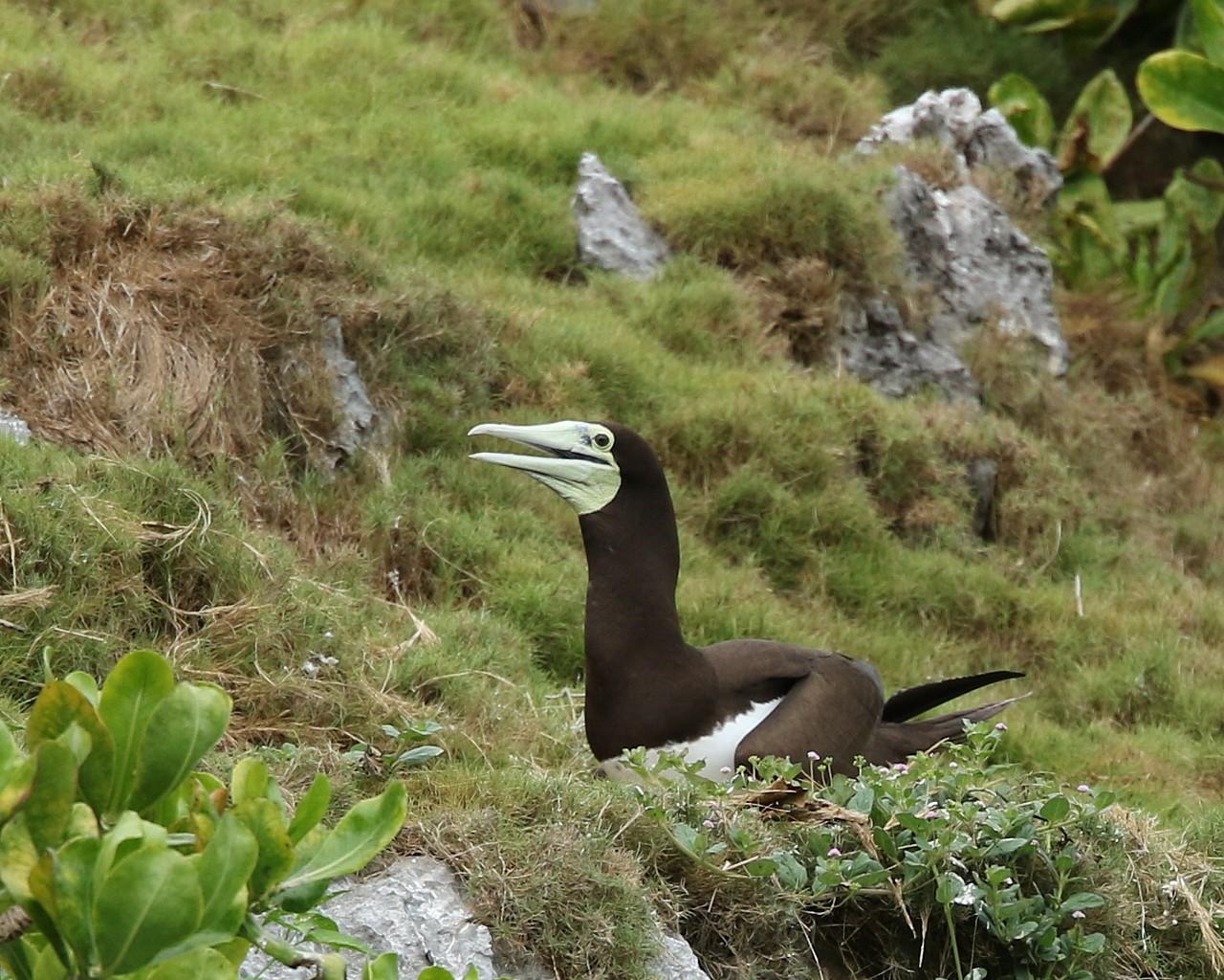 南の島からのお土産その14:抱卵中のカツオドリお母さん_f0105570_21482449.jpg