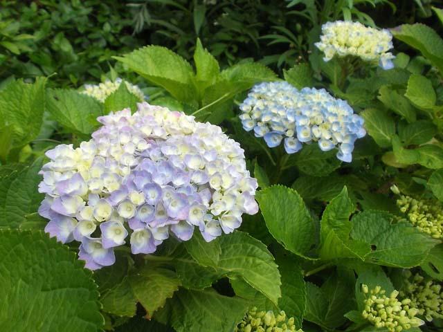 庭の紫陽花が咲き始めました。_f0019498_14252418.jpg