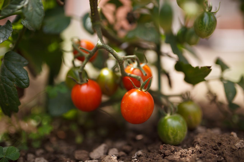 そろそろトマトの収穫か? そして療養生活の床上げ準備_c0369219_00365056.jpg