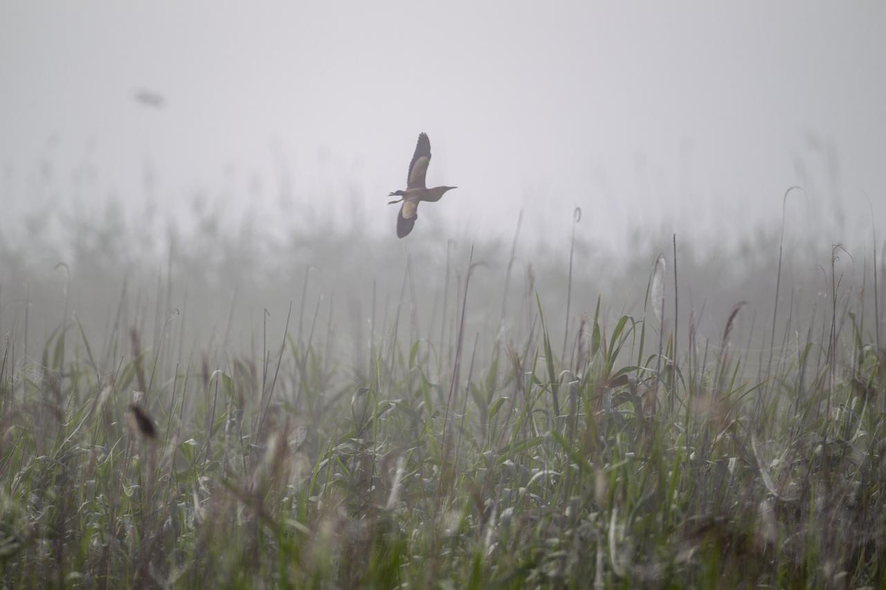 朝霧の中のヨシゴイとオオヨシキリ_a0052080_19311636.jpg