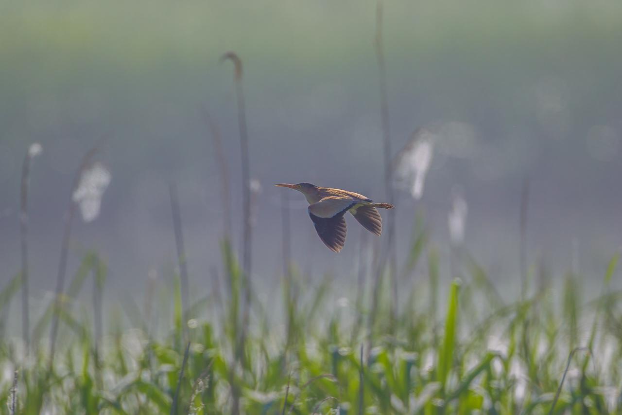 朝霧の中のヨシゴイとオオヨシキリ_a0052080_22144043.jpg