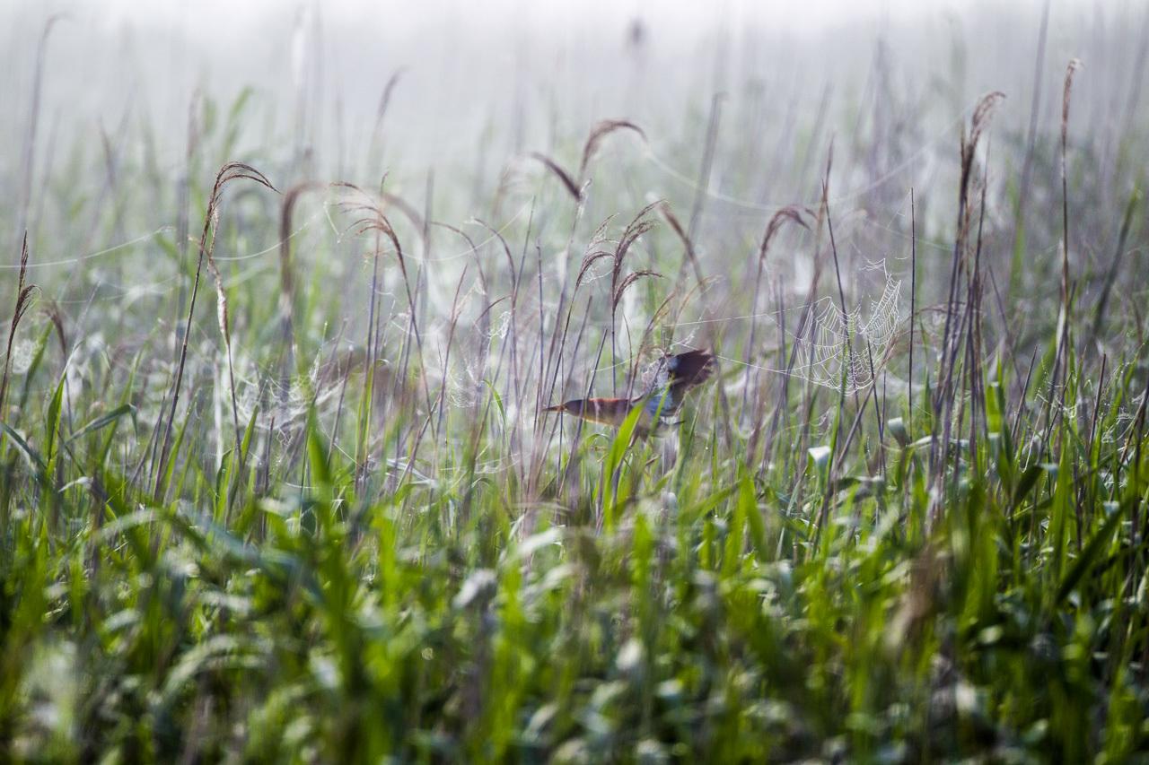 朝霧の中のヨシゴイとオオヨシキリ_a0052080_22153040.jpg