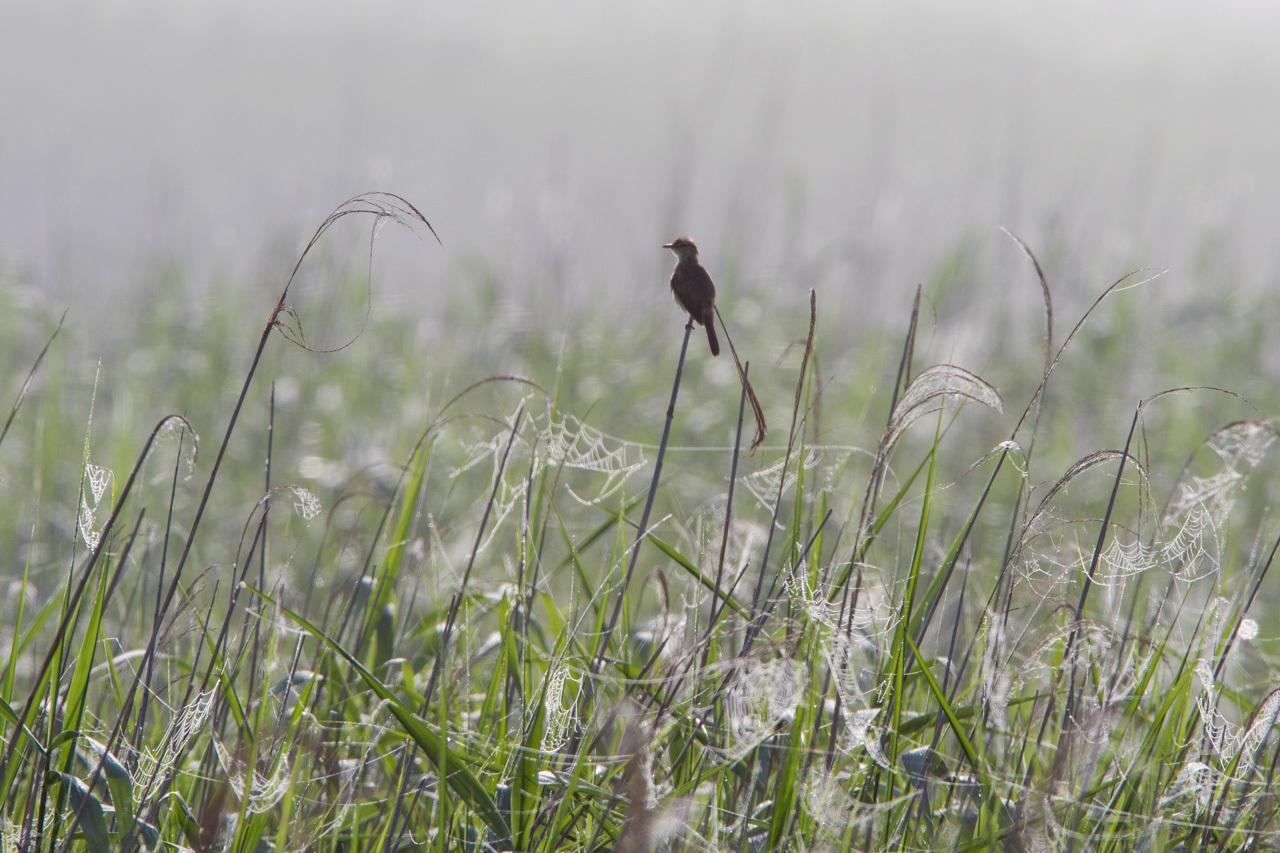 朝霧の中のヨシゴイとオオヨシキリ_a0052080_22394962.jpg