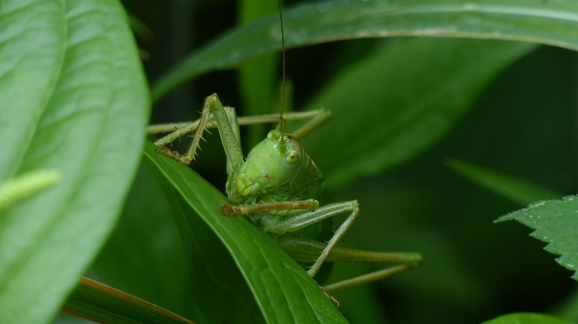 昆虫の森シリーズ 最強のバッタ_a0185081_13484859.jpg