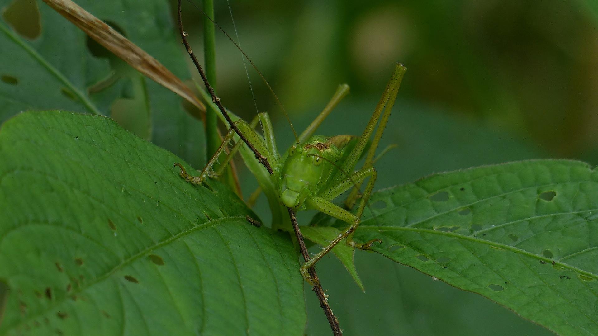昆虫の森シリーズ 最強のバッタ_a0185081_1349128.jpg
