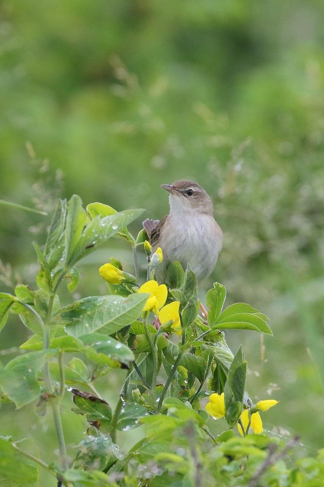 遠征 3・・・・・・・道東の小鳥たち その1_c0295707_177276.jpg