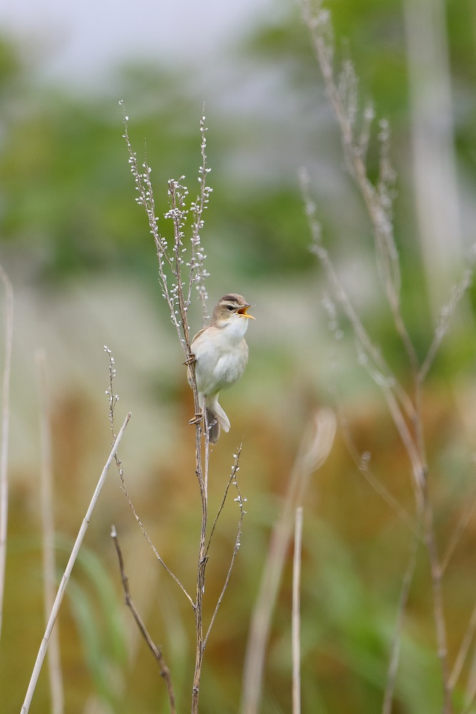 遠征 3・・・・・・・道東の小鳥たち その1_c0295707_178164.jpg