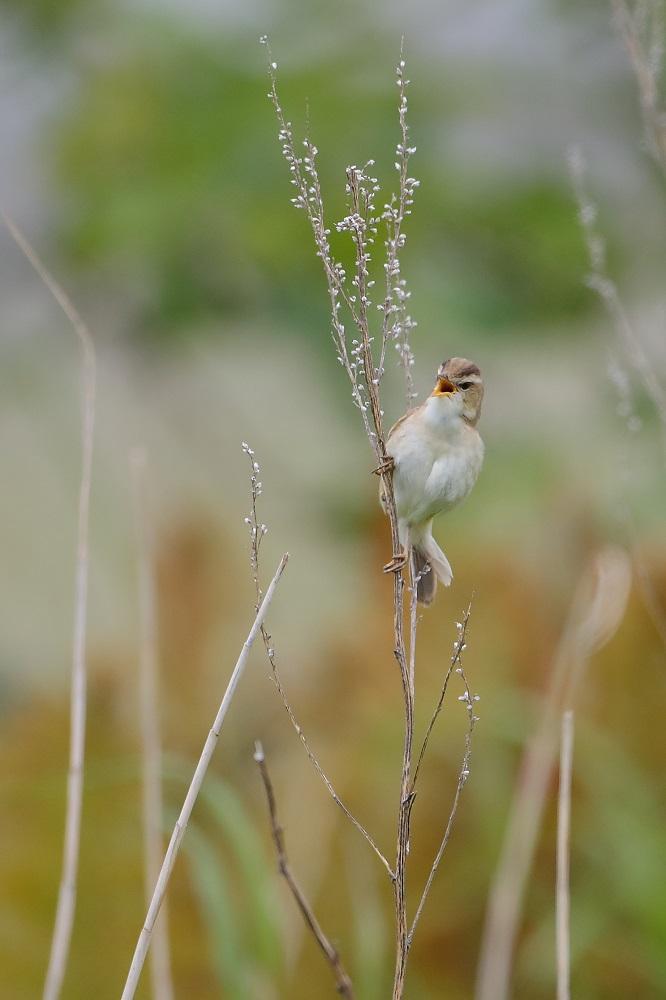 遠征 3・・・・・・・道東の小鳥たち その1_c0295707_1782348.jpg