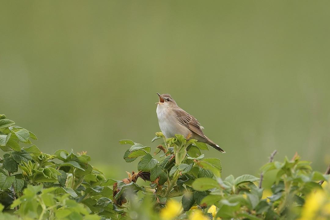 遠征 3・・・・・・・道東の小鳥たち その1_c0295707_1793368.jpg