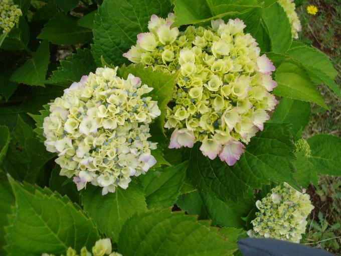 紫陽花の季節です_d0149129_18252755.jpg