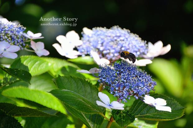 紫陽花の上で_a0238574_20423381.jpg