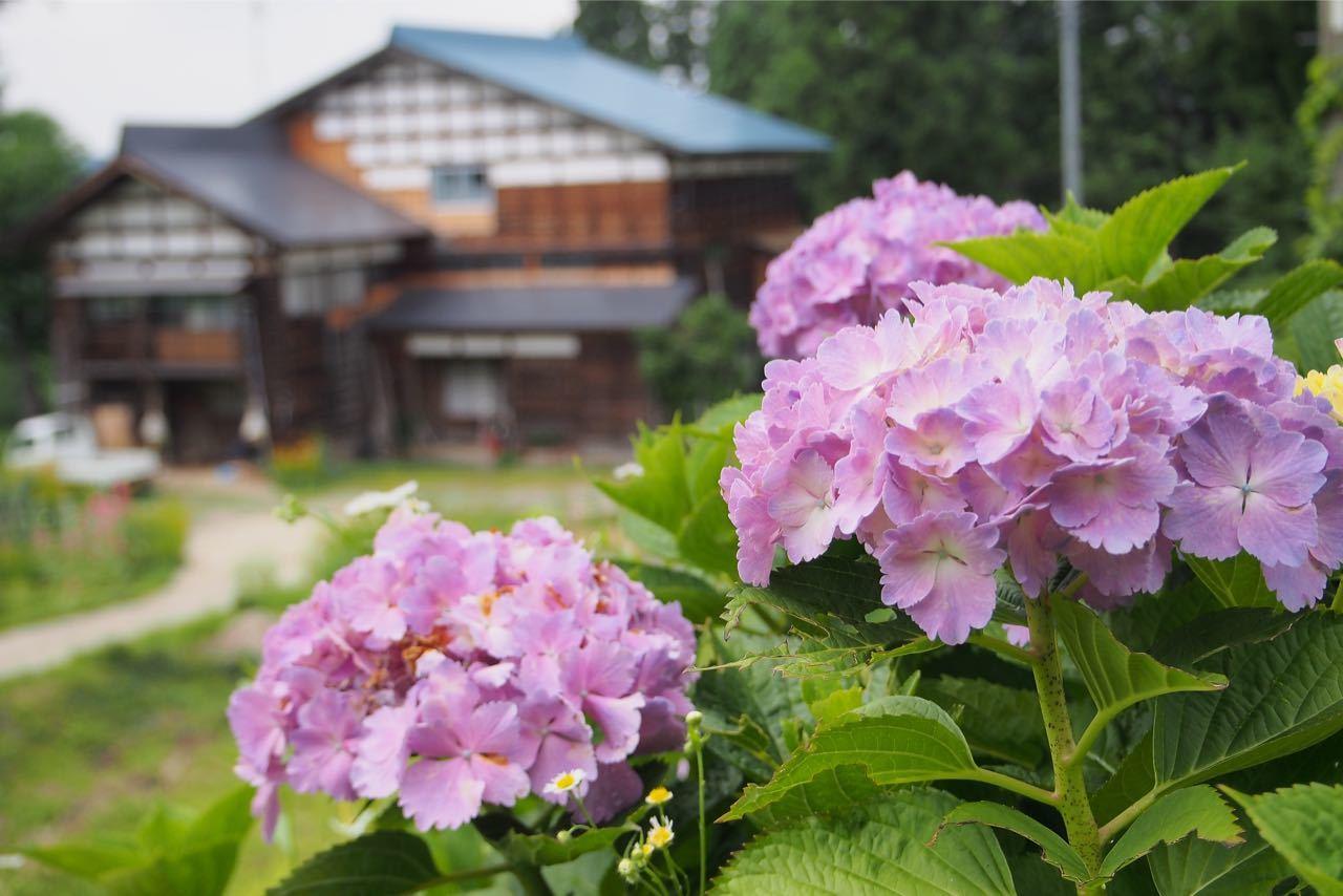 紫陽花_a0025576_15372728.jpg