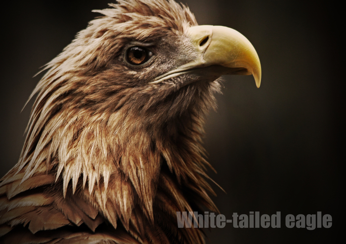 オジロワシ:White-tailed eagle_b0249597_5423123.jpg