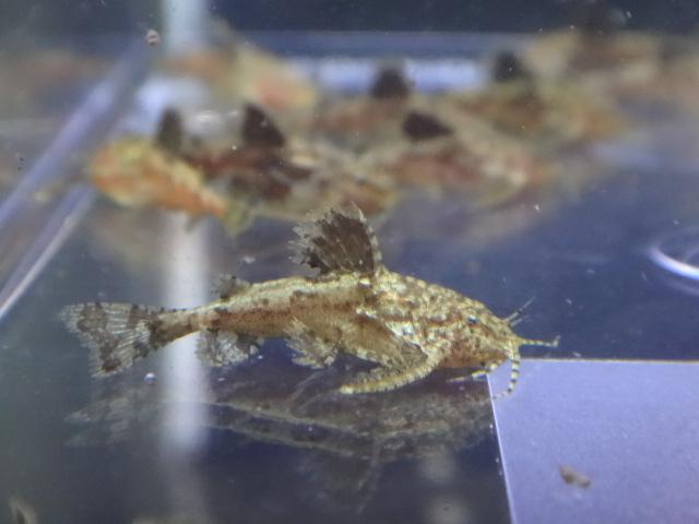 160623 熱帯魚・金魚・水草_f0189122_12581399.jpg
