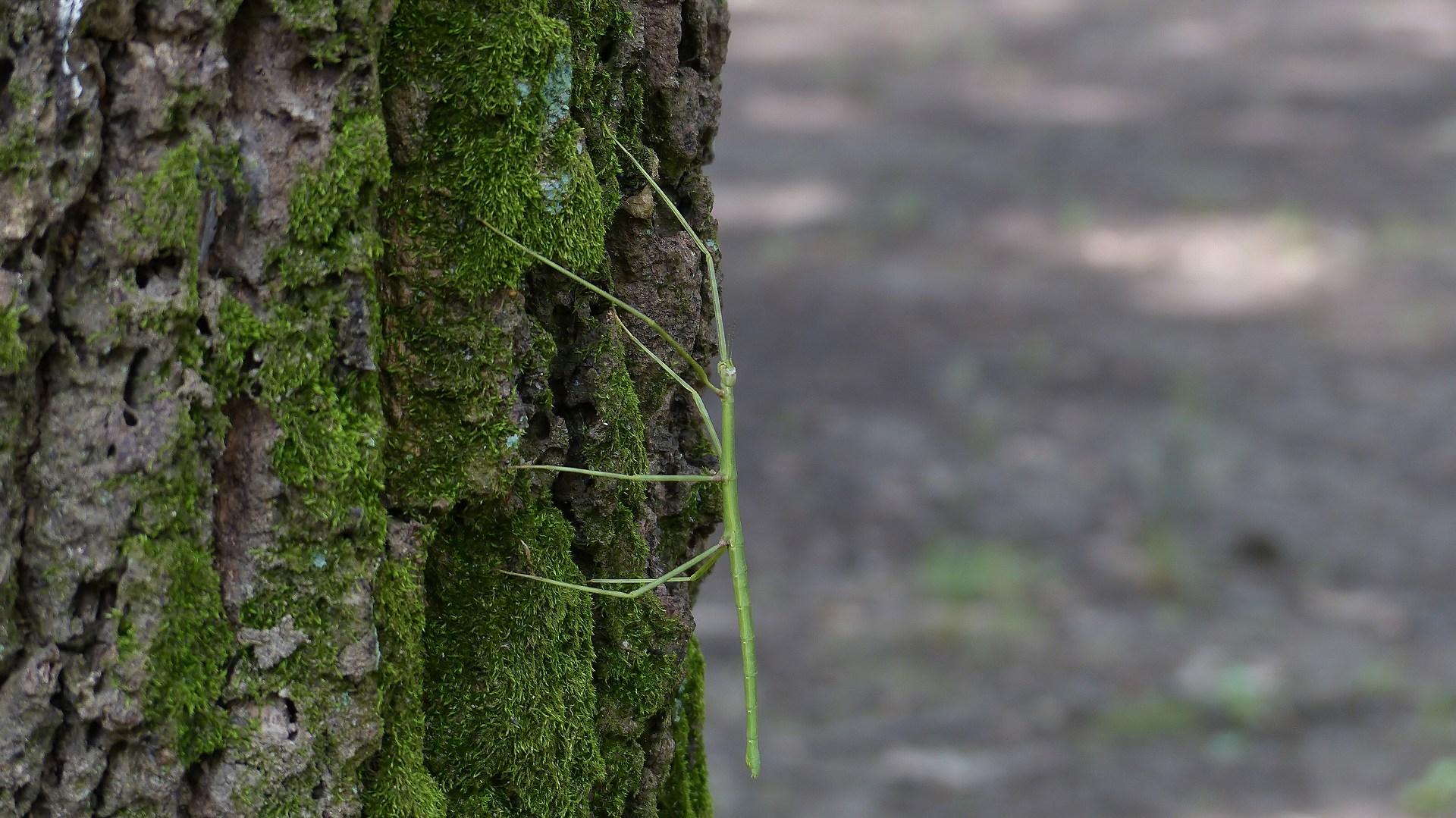 昆虫の森シリーズ ナナフシの七不思議_a0185081_1245866.jpg