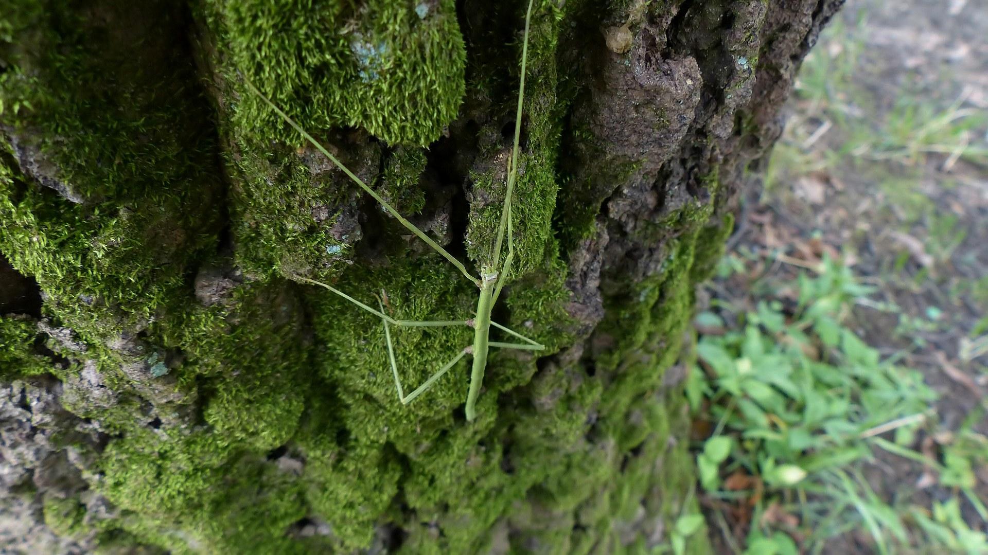 昆虫の森シリーズ ナナフシの七不思議_a0185081_1252073.jpg