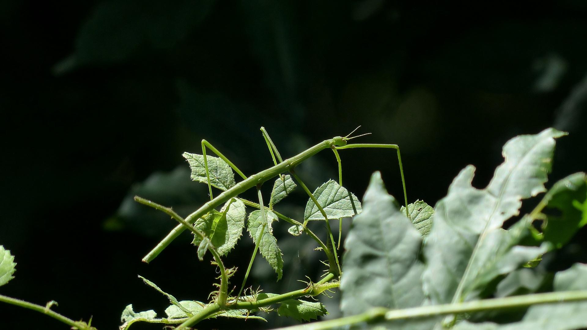 昆虫の森シリーズ ナナフシの七不思議_a0185081_1265298.jpg