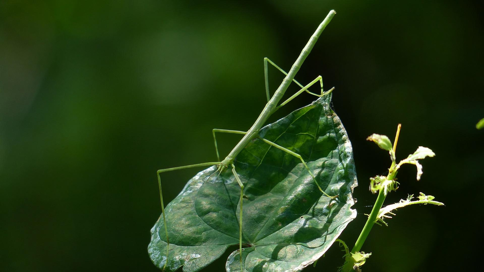 昆虫の森シリーズ ナナフシの七不思議_a0185081_127164.jpg