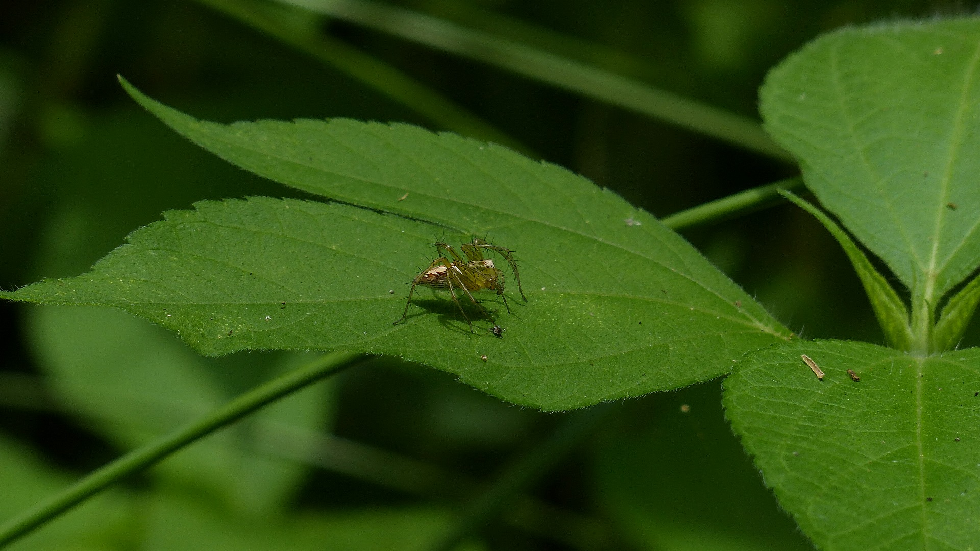 昆虫の森シリーズ 徘徊する蜘蛛_a0185081_13125234.jpg