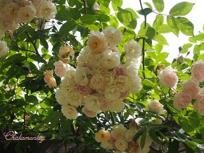 Kew Gardensのバラのアーチ_f0238789_21553575.jpg