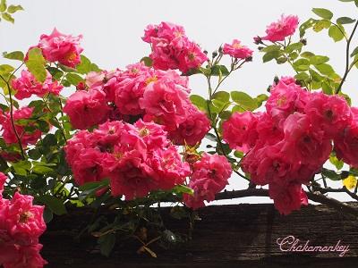 Kew Gardensのバラのアーチ_f0238789_2155870.jpg