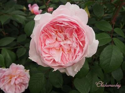 Kew Gardensのバラのアーチ_f0238789_21583718.jpg