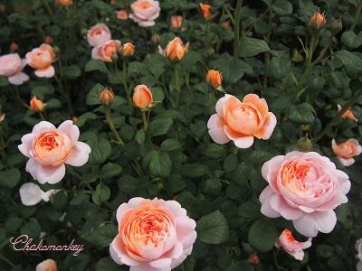 Kew Gardensのバラのアーチ_f0238789_2244492.jpg