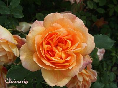 Kew Gardensのバラのアーチ_f0238789_2252181.jpg